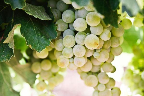 4. schlechteste Obstsorte: Trauben