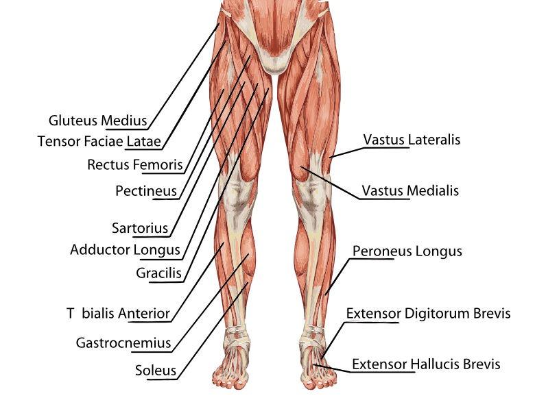 Anatomie des männlichen Muskelsystems: Beine in der Frontansicht