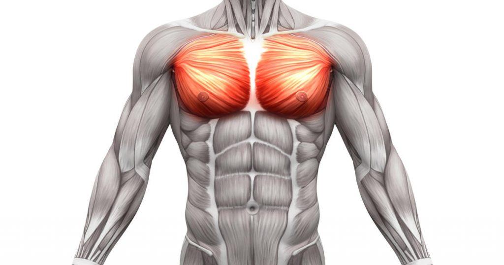 Anatomie der Brustmuskulatur